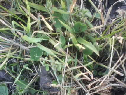 corn and beans growing through the wheat residue.jpg