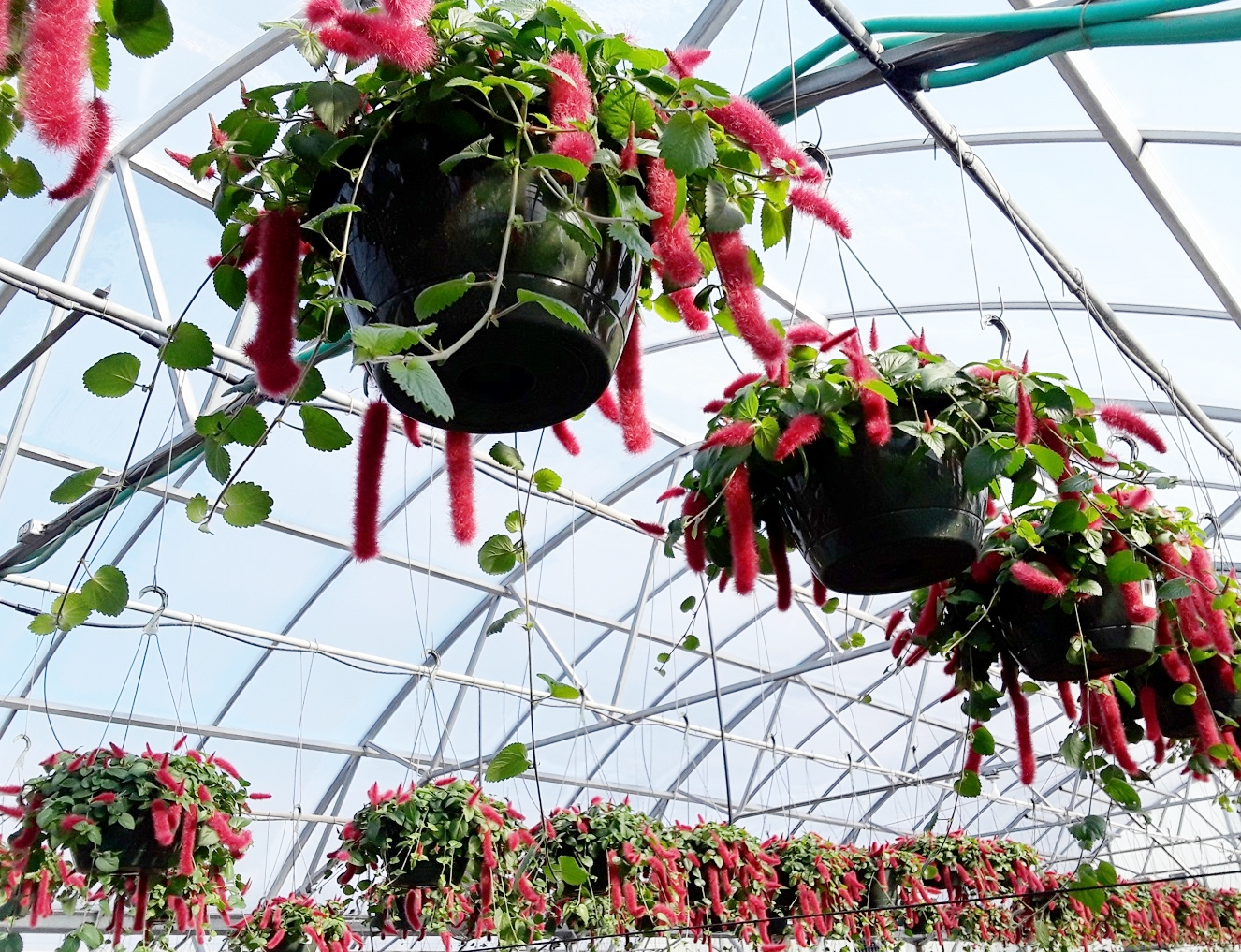 """10"""" Acalypha Pendula Cat Tails (Chenille Plant)"""
