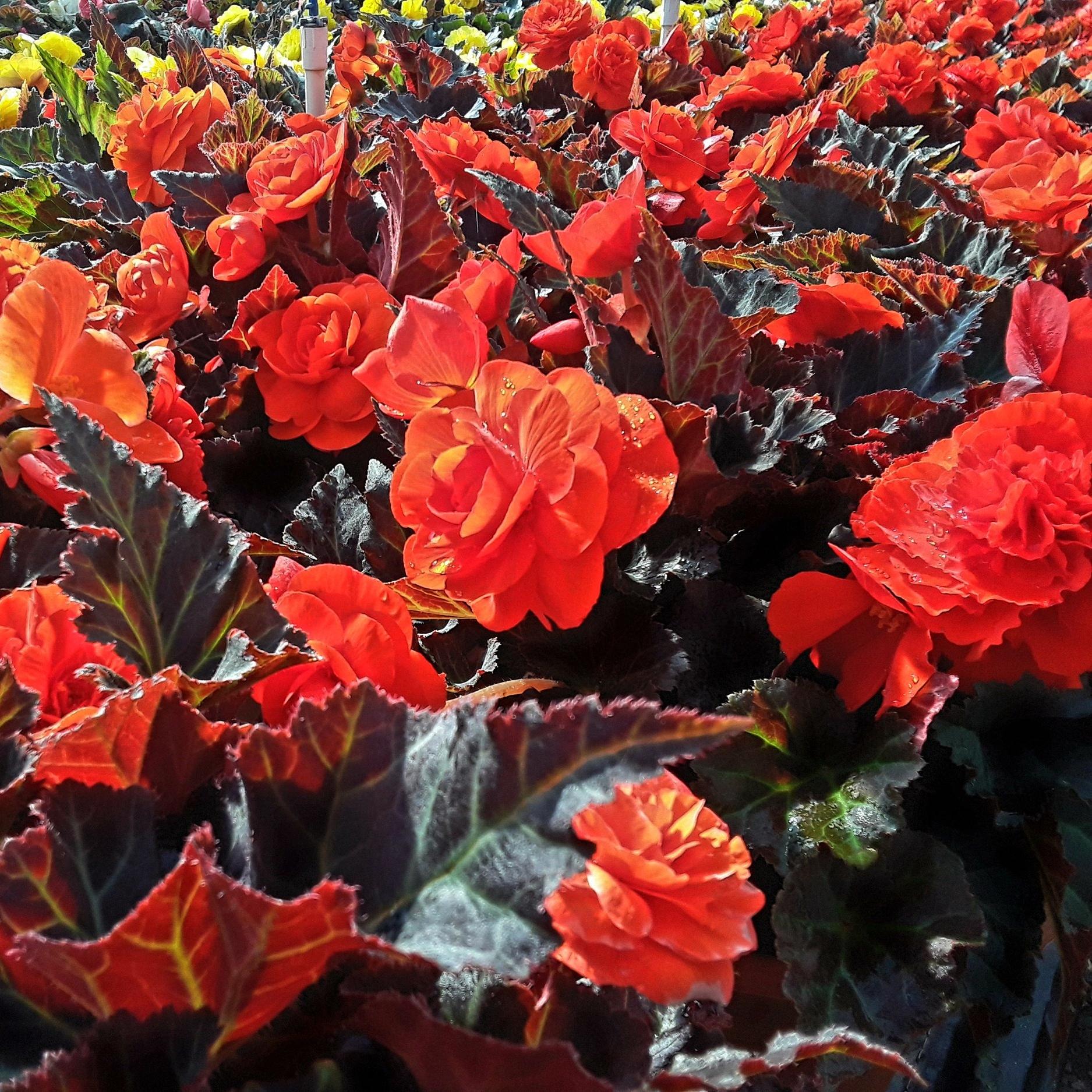 "10"" Tuberous Begonia"