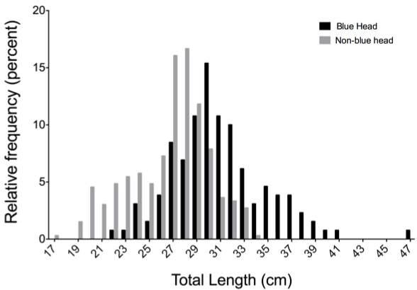 Blue Head Size Frequency  Figure 6. Comparing the proportional abundance of non-blue head BSB to blue head BSB. Blue head BSB were significantly larger than non-blue heads (P<0.001).