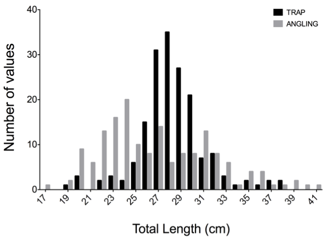 Frequency Distribution: Commercial Fishing Traps vs. Angling  Figure 8. Comparing the size frequency distribution of BSB captured with hook and line vs. commercial traps. Sampling took place on natural bottom sites within a 1.62 km square (29 m depth). The sampled distributions were significantly different between gears (Kolmogorov- Smirnov P < 0.0001). Traps captured higher proportions of BSB from 26 -32cm, whereas angling captured higher proportions of smaller BSB (20-25 cm TL). Differences could be due to trap escape vents that release small fish.