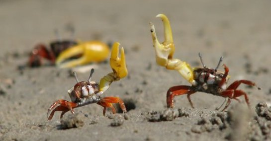 Fiddler crabs waving their sexually dimorphic claw (only males have the large claw).