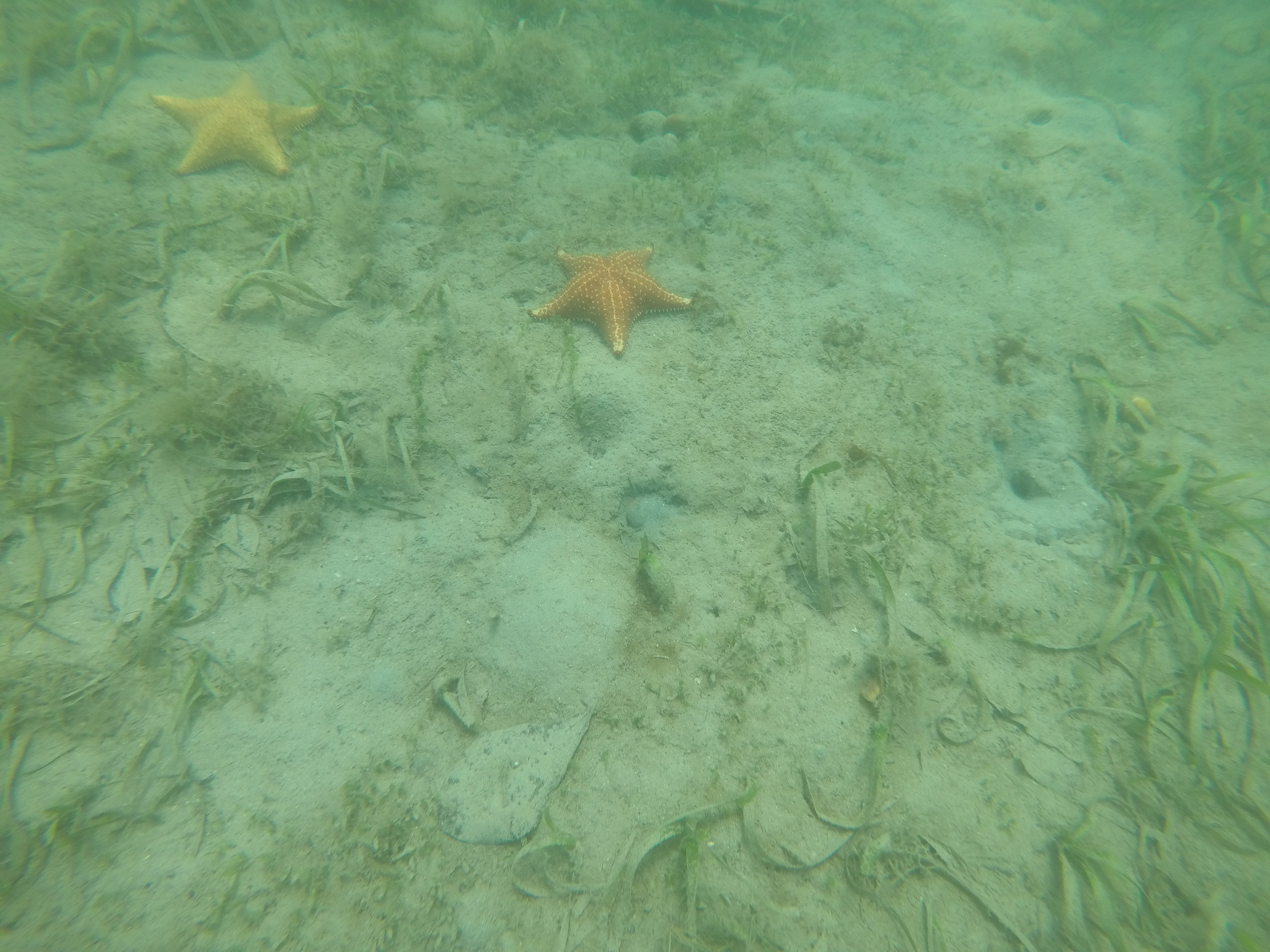 Seastars found in seagrass beds