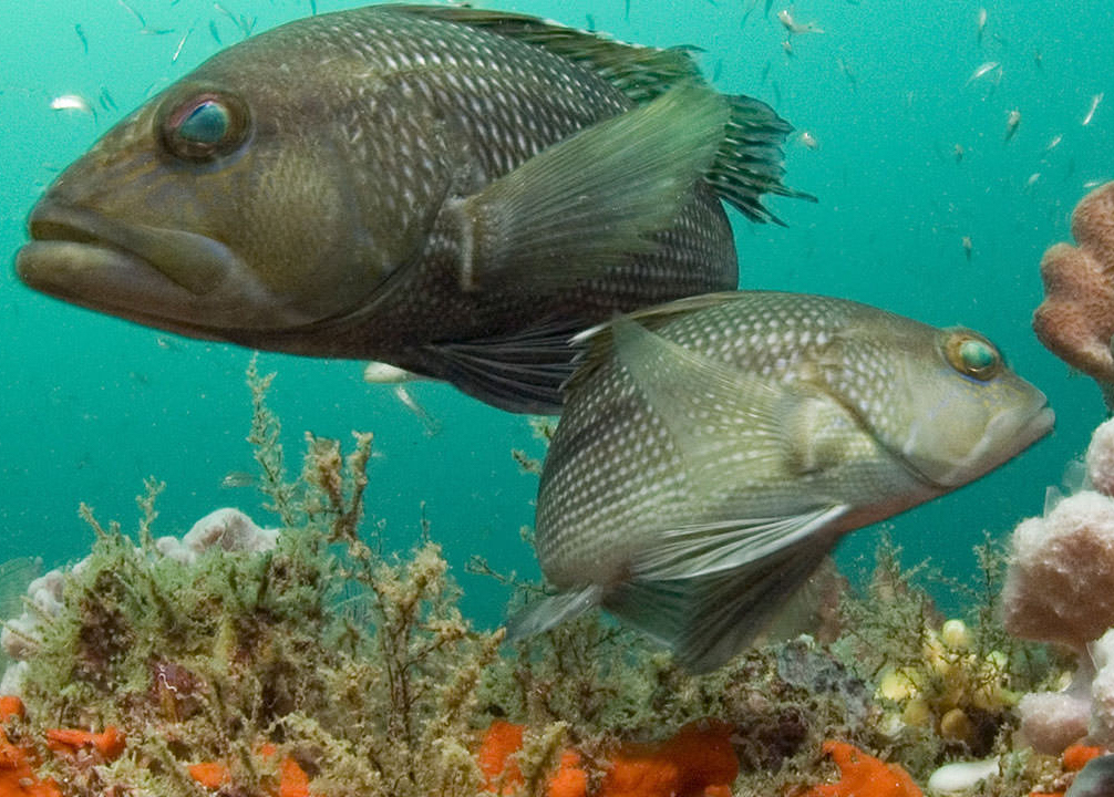 Black_sea_bass_at_Gray's_Reef_National_Marine_Sanctuary_in_Georgia.jpg