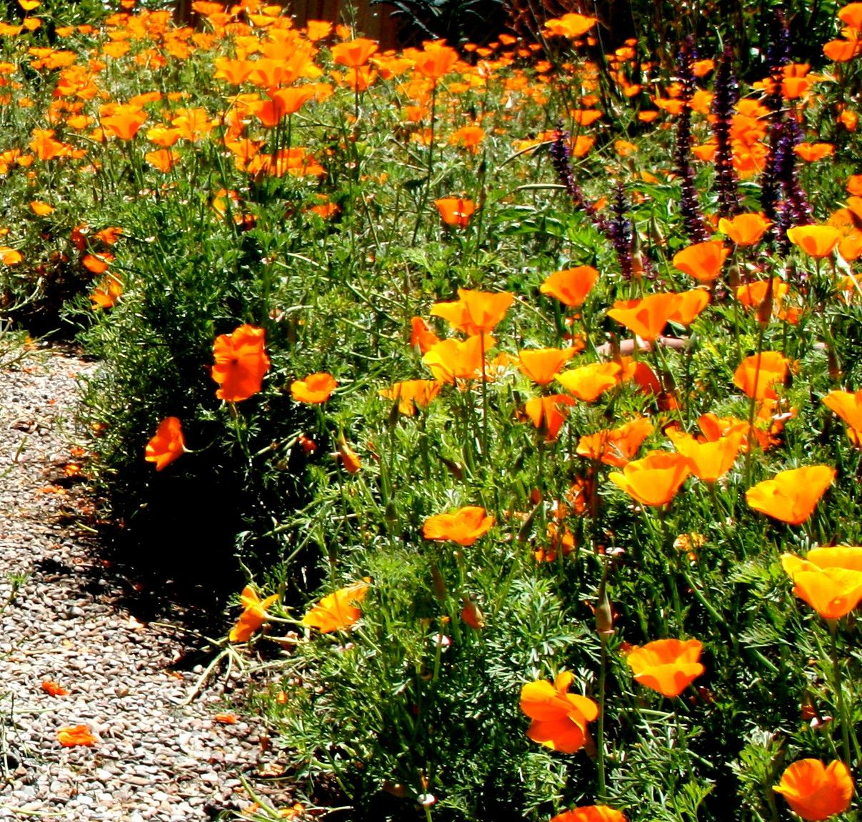 california+poppy.jpeg