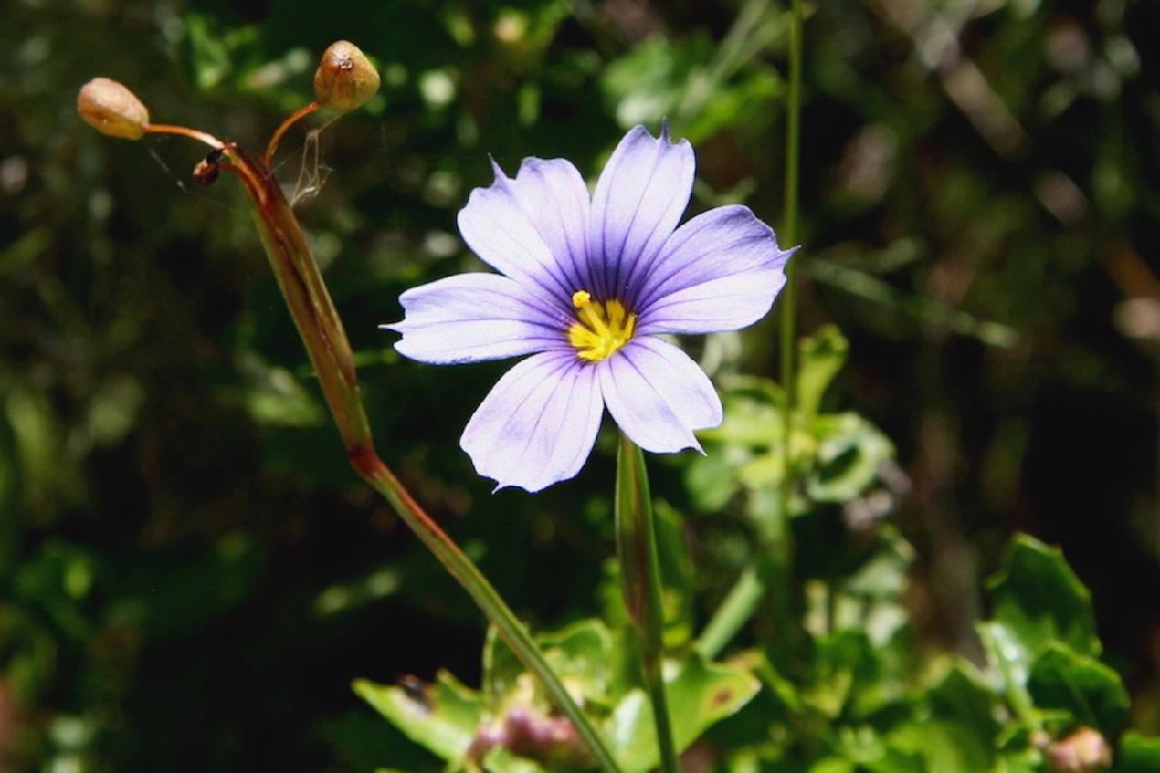 Blue+Eye+Grass_IMG_6053.jpg