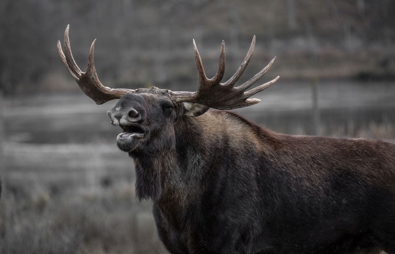 moose-bull-elk-yawns-39645.jpeg