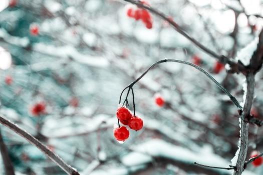 winter-holiday-berry.jpg