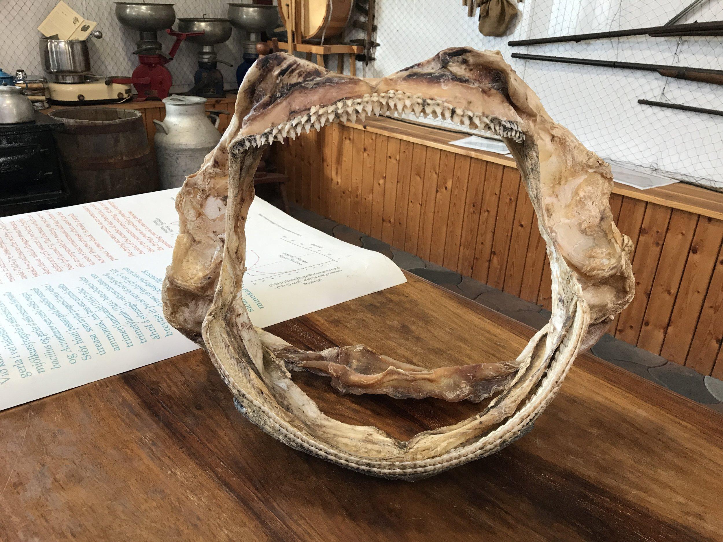 Shark jawbone