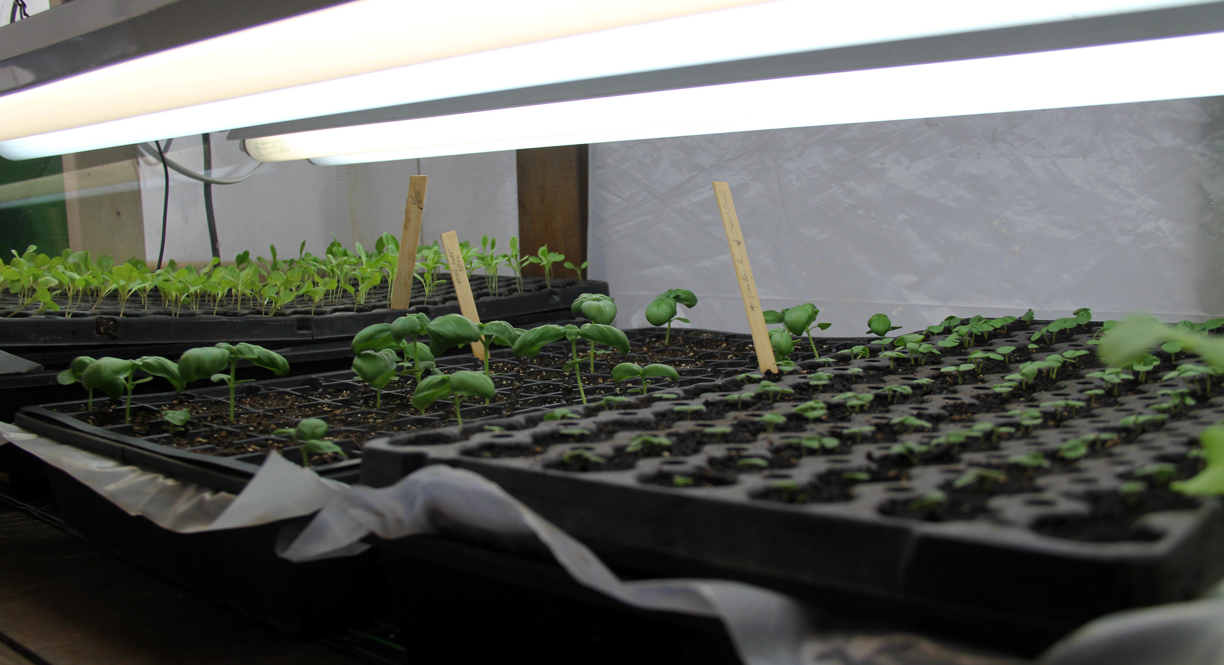 lettuce and basil getting a head start