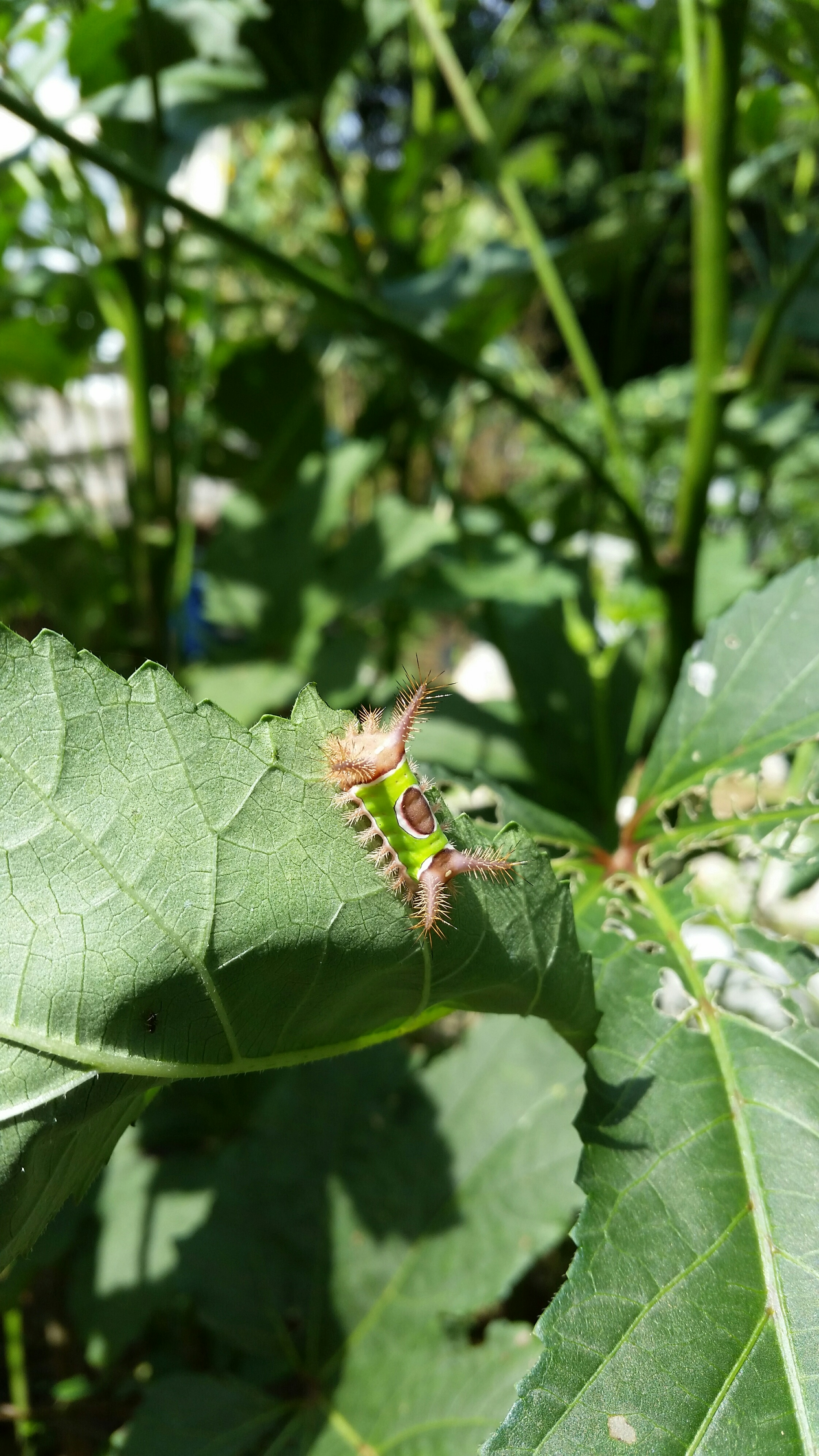 "These ""saddleback"" caterpillars frequent the okra. They look fun; their sting is not."