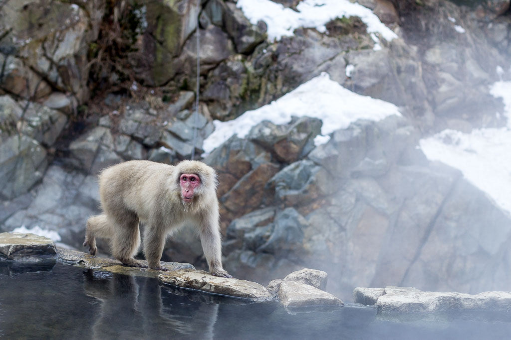 A snow monkey exploring the steamy hot springs at the Snow Monkey Park in Nagano, Japan
