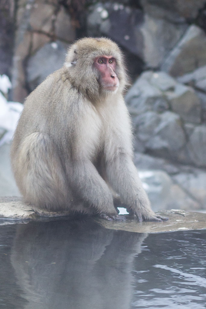 A snow monkey sits on the edge of the hot spring