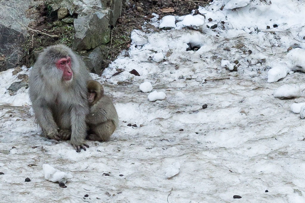 A snow monkey with a baby at the Snow Monkey Park in Japan.