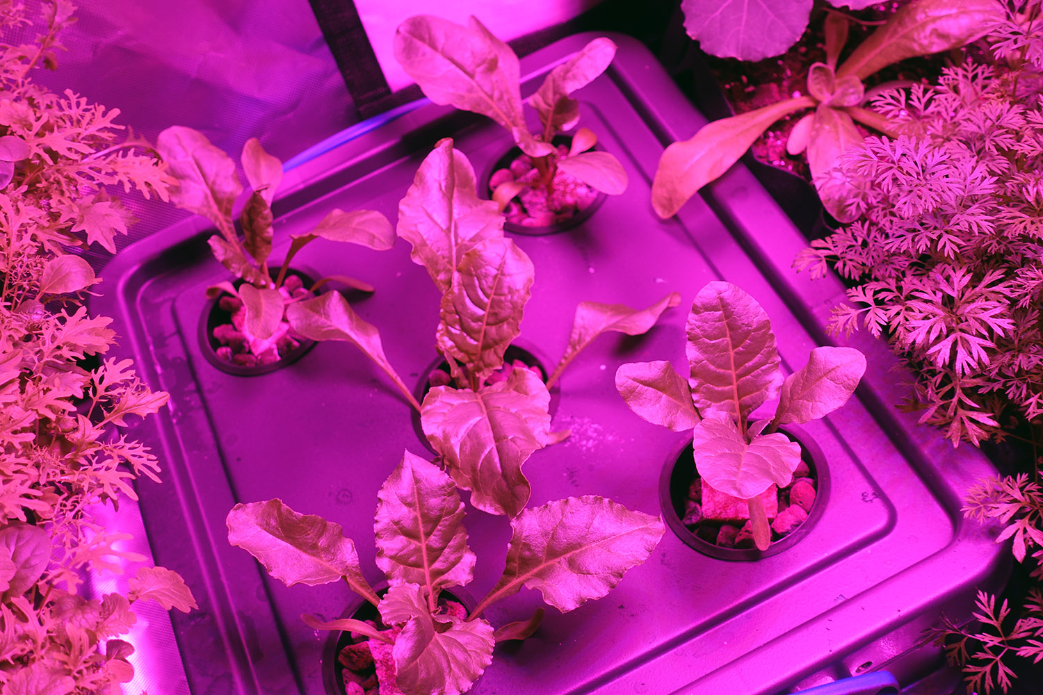 My passive hydroponic system and spinach grown following the Kratky method