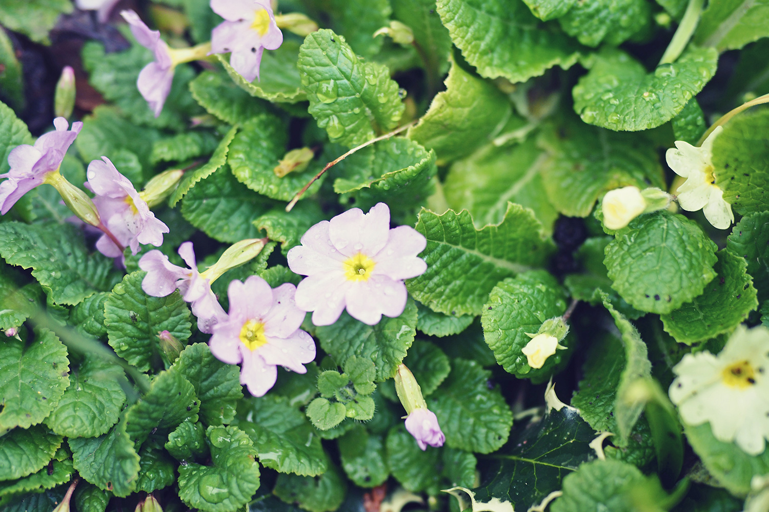 edible-flowers-for-cakes-crystallised-primroses.jpg