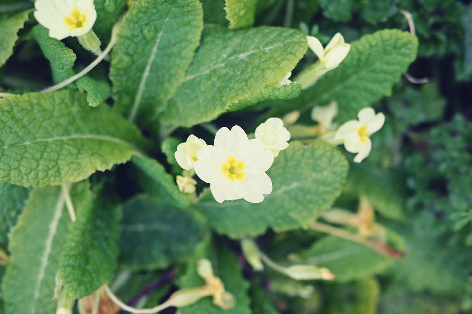 edible-flowers-primroses.jpg