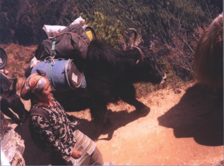 Yaks and dzos carry duffels and camping supplies at higher altitudes.  Upper Khumbu, 2002.