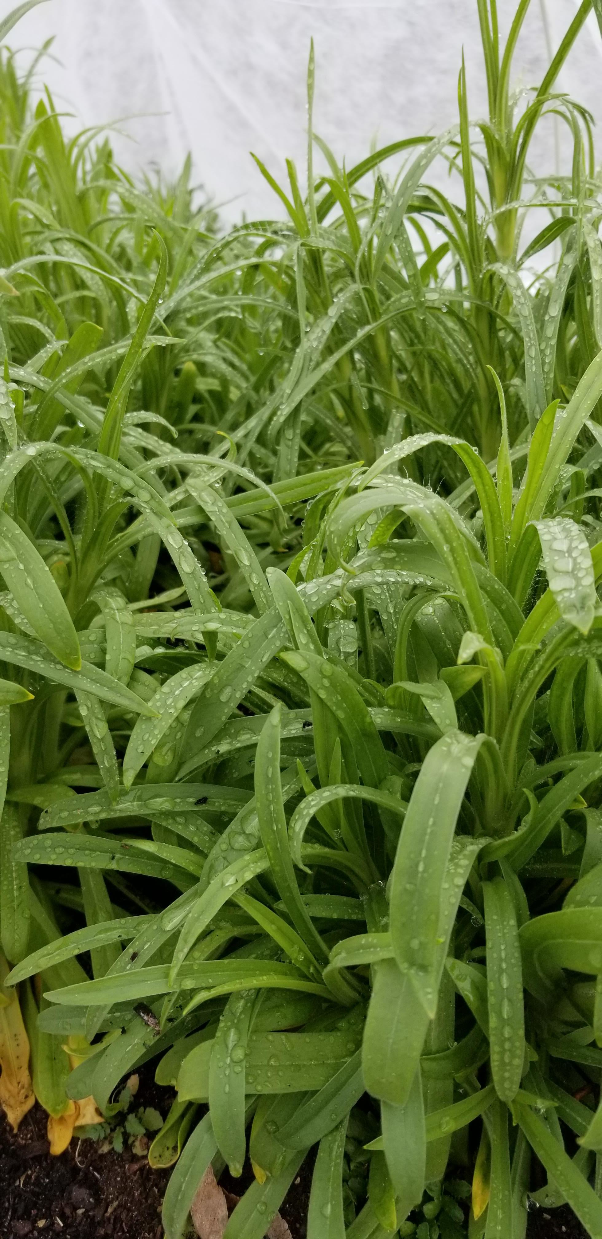 Dianthus under cover