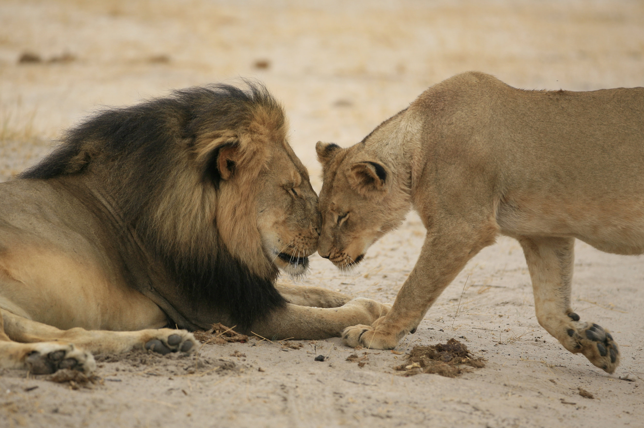 Cecil and lioness.jpg