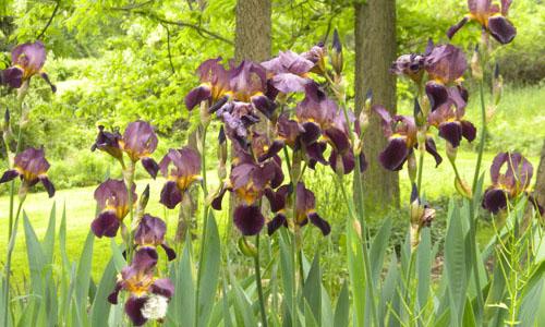 Irises-sm.jpg
