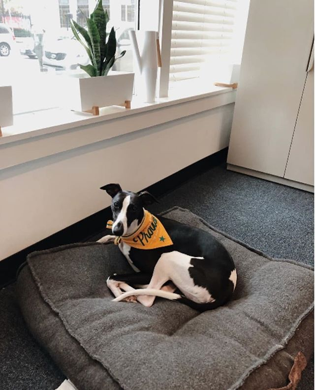 Balancing work and life means making room for your best friend. 🐾 . . . 🐶: @2whippet2quit #repost #officedogs #innovation #energy #covoSTL #coworking #events #STL #Startup #Entrepreneurship #Innovators #Amenities #stlouis #stlouisgram #office #covo #hellocovo #covodays #entrepreneurlife #stlouisgram #explorestlouis #worklifebalanced #whippet  #whippetlove #whippetsofinstagram #whippetpuppy #whippetcorner #dogstagram #bandana #takeyourdogtoworkday