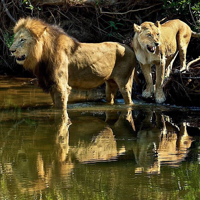 🦁 August is the month of the LEO'S Give a big roar! Leo is a sign of Hercules & the Lion, People born under this zodiac sign possess great personal magnetism & are often entrepreneurs ,entertainers & artists.Just saying🎨😀⠀ ⠀ Photo from @natgeo by @stevewinterphoto ⠀ ⠀ ∙⠀ ∙⠀ ∙⠀ ∙⠀ ∙⠀ ∙⠀ #animals #animal #wildlife #pet #dog #cat #dogs #cats #photooftheday #cute #pets #instagood #animales #natgeo  #love ⠀ #lion #worldlionday #bigcat #inthefield #wildlifephotojournalism #bigcatsforlife #bigcatsinitative #africanparksnetwork #lion #lionlove #beauty #zodiac #astrology #leo #hercules