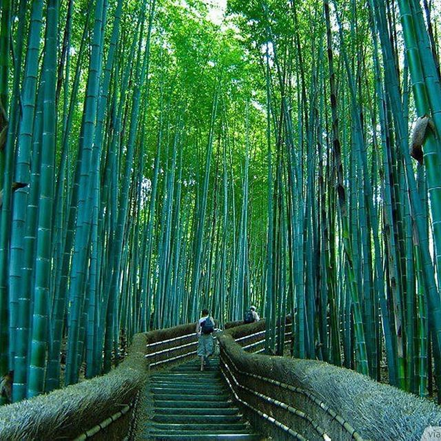 Bamboo forest in Japan. I'd love to go here. 🇯🇵 🌱In the mean time, I have some of my own lining the driveway. Watch😳 for picture to come. Ever listen to the sound it makes in the wind? Be still & listen for it .Being present is being ALIVE😝⠀ ⠀ Regram from @_placeswonderful ⠀ ∙⠀ ∙⠀ ∙⠀ ∙⠀ ∙⠀ ∙⠀ #wanderlust #travel #explore #adventure #befree #instatravel #travelgram #vacation #tourist #tourism #trip #instagood  #instamood  #instadaily #bestoftheday #iphoneonly #nofilter  #igdaily #instalove #igaddict #japan #bamboo