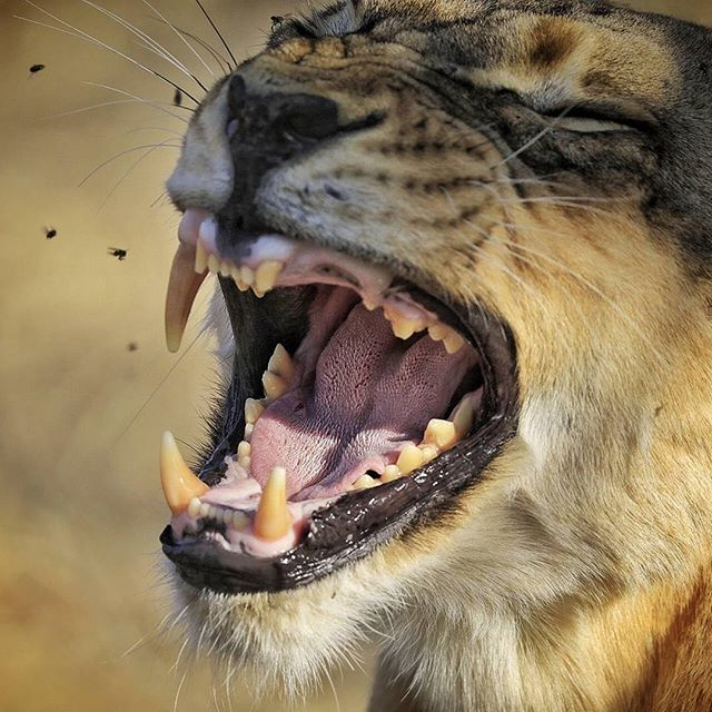 It's LION month.🦁The king of all predators.So a missing tooth, & swarming flies around ; is just part of the game.😝⠀ Images by Matetsi @natgeoexpeditions ⠀ ⠀ ⠀ ⠀ ⠀ ⠀ ⠀ ⠀ ∙⠀ ∙⠀ ∙⠀ ∙⠀ ∙⠀ ∙⠀ #animals #animal #wildlife #pet #cat #cats #photooftheday #cute #pets #instagood #animales #natgeo  #love #worldlionday #natgeo #natgeowild #toughlife #tough #empowerment #predator #lion