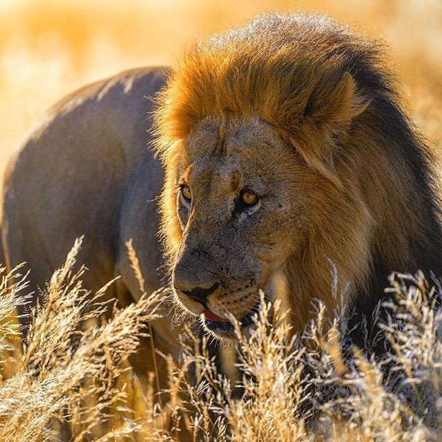 🦁 On guard, the King is keeping a close eye out for any movement as he stands in stillness. August can sometimes feel like we're waiting for something-perhaps movement out of the heat & towards a time of harvest.⠀ ⠀ ⠀ ⠀ ⠀ ⠀ ⠀  Photo by @ladzinski  #📷 @natgeo ⠀ ∙⠀ ∙⠀ ∙⠀ ∙⠀ ∙⠀ ∙⠀ #animals #animal #wildlife #fierce #pet #dog #cat #dogs #cats #photooftheday #cute #pets #instagood #animales #natgeo #love #lion
