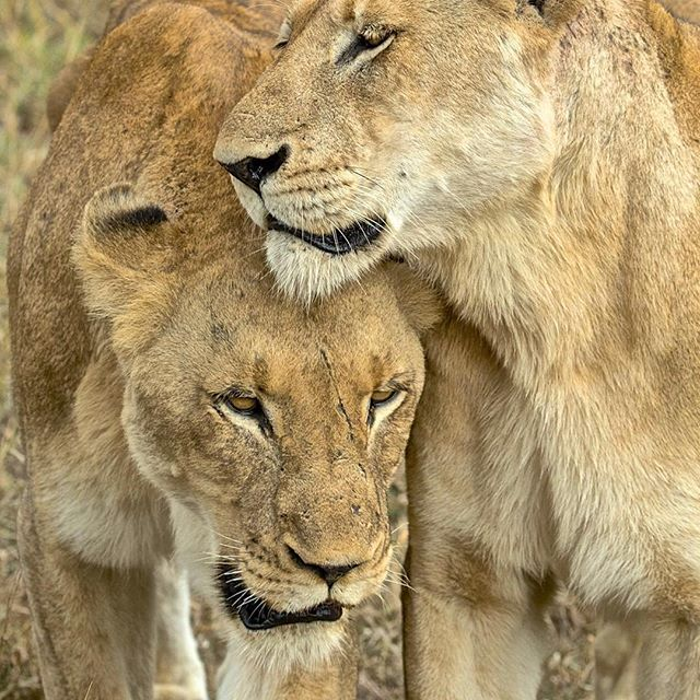 Fiercest warriors & protecotrs of their pack. 😬 I wouldn't want to upset a lioness or come between her & her cubs😖😾 Looks like like her sister is comforting her, probably saying breath,; all is as it should be.All is well❤️⠀ ⠀ ⠀ ⠀ 📷@stevewinterphoto @natgeo ⠀ ⠀ ⠀ ⠀ ⠀ ∙⠀ ∙⠀ ∙⠀ ∙⠀ ∙⠀ ∙⠀ #animals #animal #wildlife #wildaid  #natgeo #pet #cat #cats #natgeowild #photooftheday #cute #pets #instagood #natgeo #love #cubs
