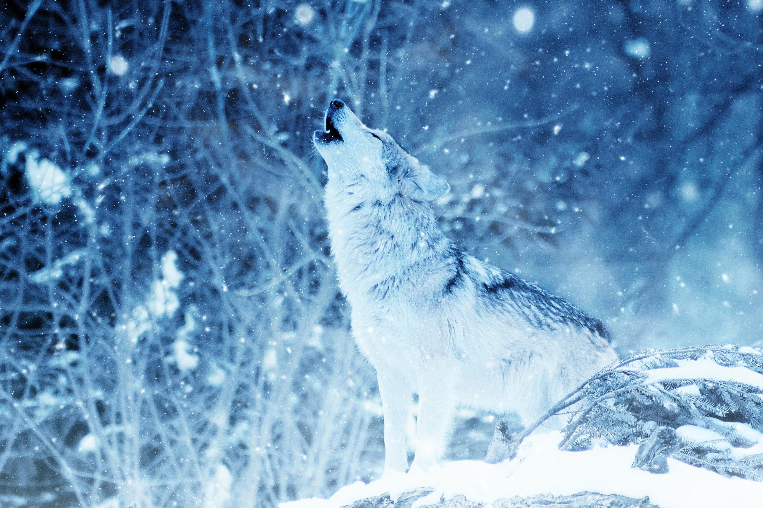 Lone Wild Wolf - Saturday, January 19, 2019, 7:30pmFirst Presbyterian Church8001 Mesa Drive, Austin, Texas 78731Sunday, January 20, 2019, 3:00pmPrivate residence; Seating is limited!