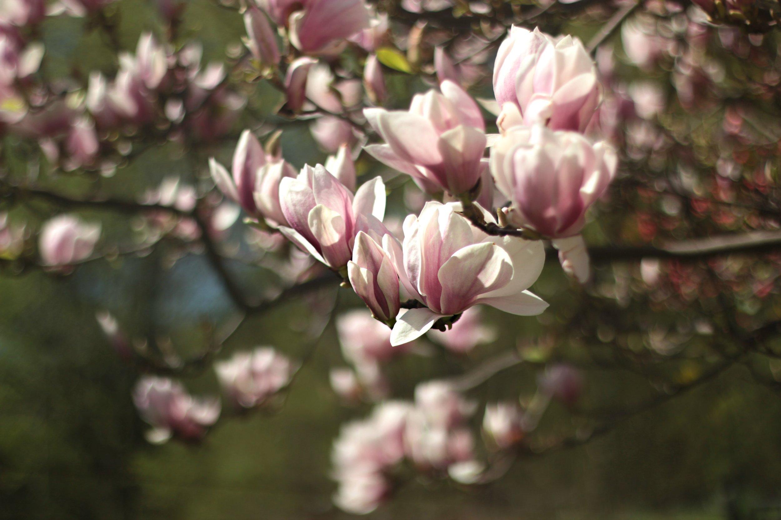beautiful-blooming-blossom-1046389 (1).jpg