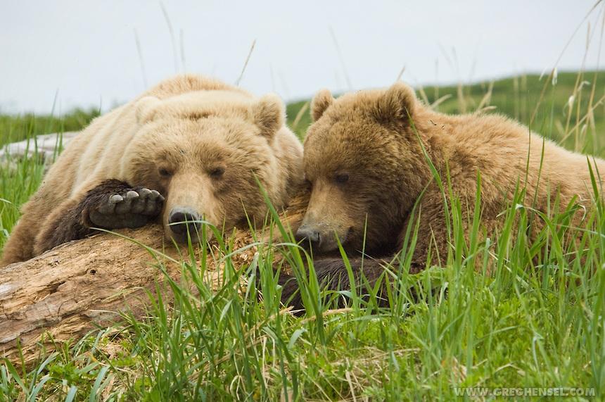 Brown-Bears-Close-up-Alaska-Portrait-GW14376.jpg