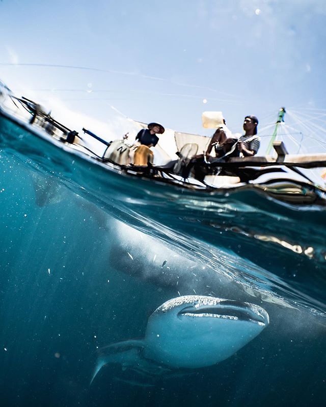 The local fishermen in eastern Indonesia have a special relationship with the largest fish in the sea; whale sharks congregate here to feed on small fry escaping from the nets. • • • #whaleshark #indonesia #cenderawasih #papua #fishing #wilderness #wildernessculture #wild #yachting #luxurytravel #travel #wanderlust #instatravel #travelgram #underwater #uwphotography #diving #phinisi #escape #traveldeeper