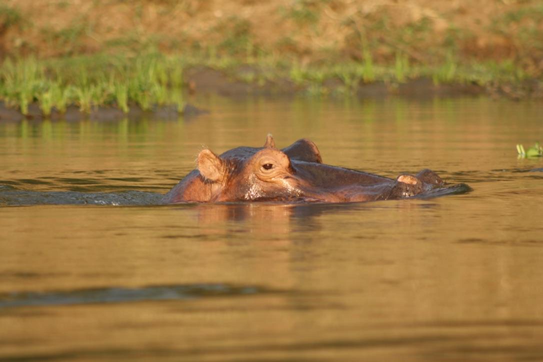 Lower Zam Hippo.jpg