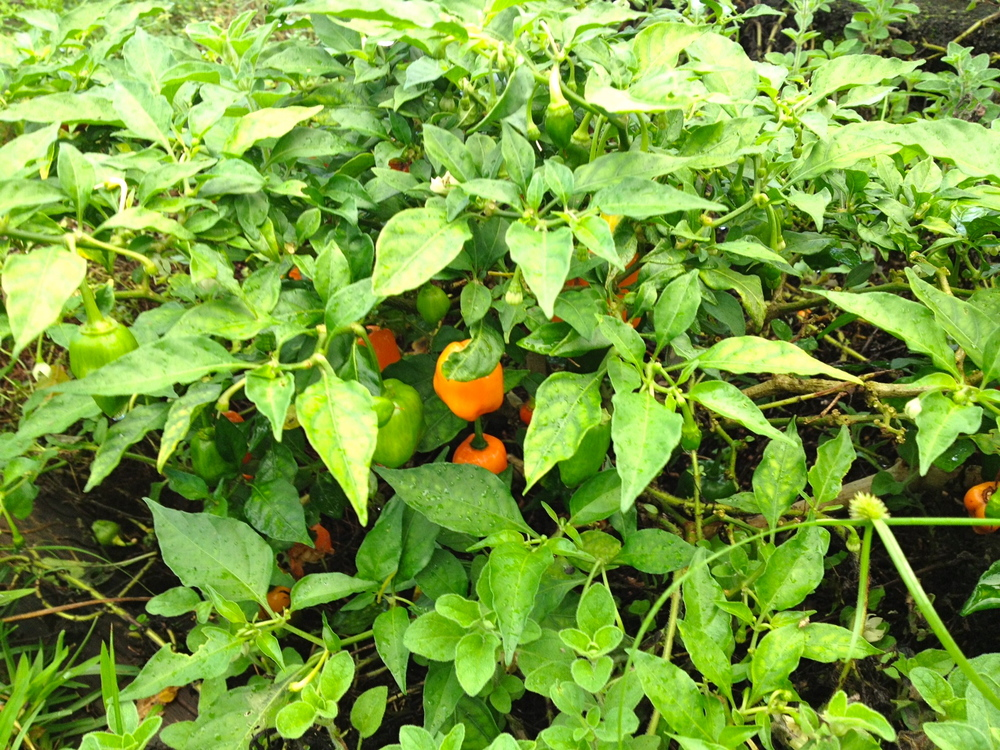 Habanero peppers.