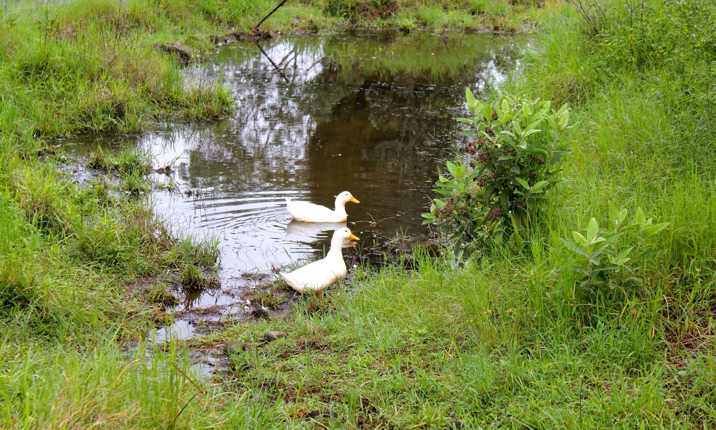 hawaii ducks