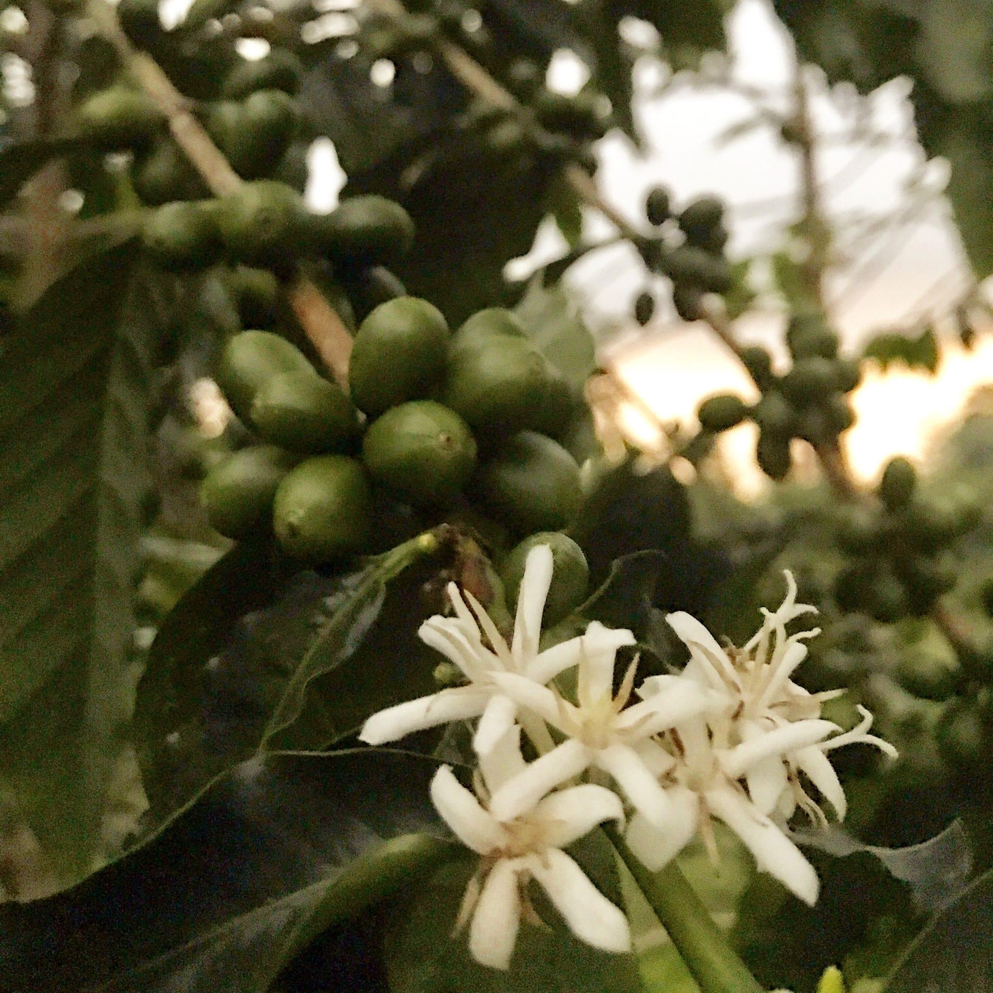Real-Kona-Coffee-Farm-Flowers-Sunshower.JPG