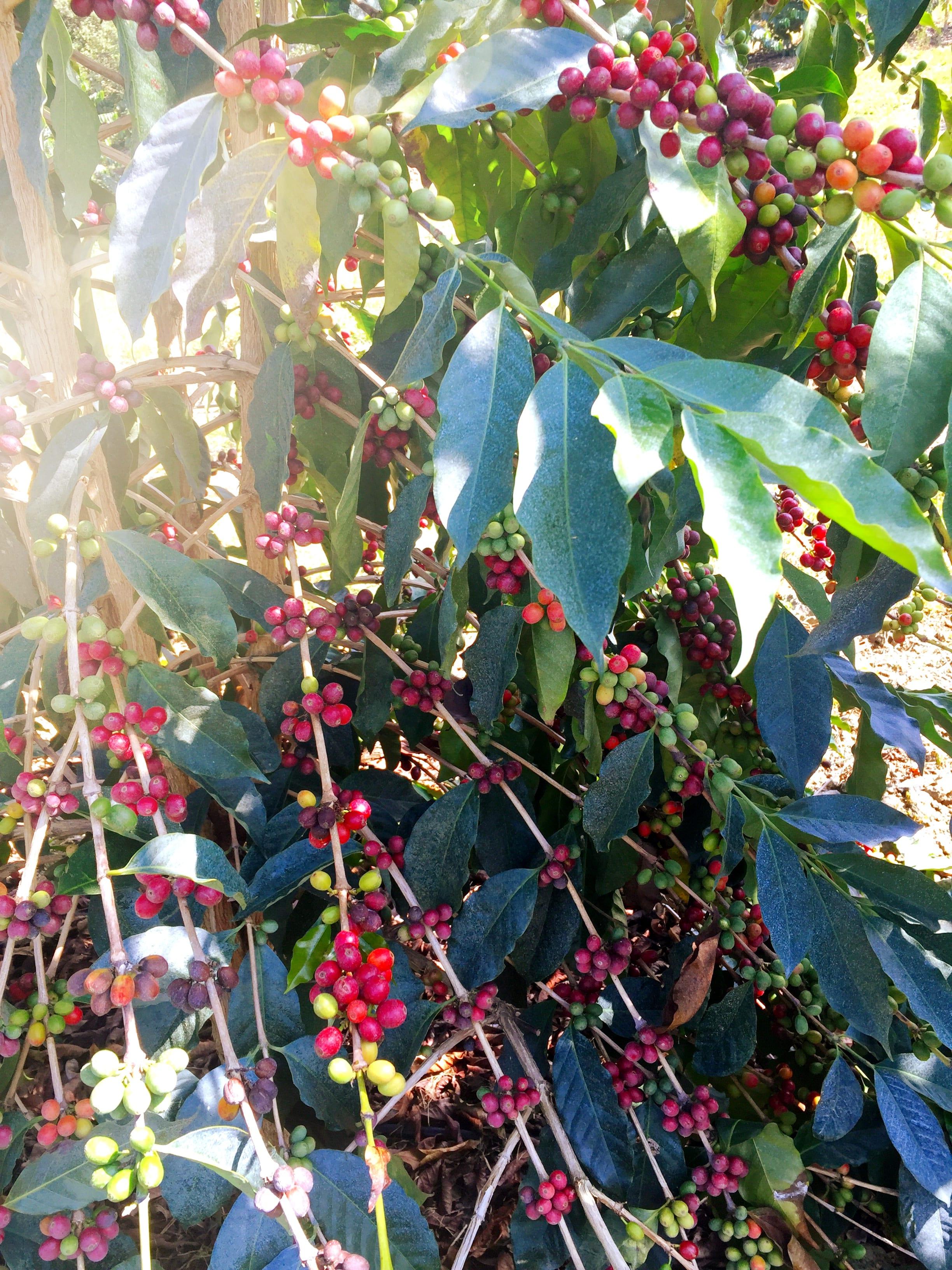 Real-Kona-Coffee-Farm-Tour-Fresh-Roasted-Cherry.JPG