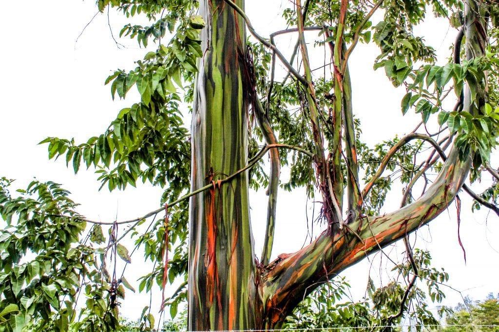 Sunshower-Farms-About-The-Farm-eucalyptus-tree-hawaii.jpeg