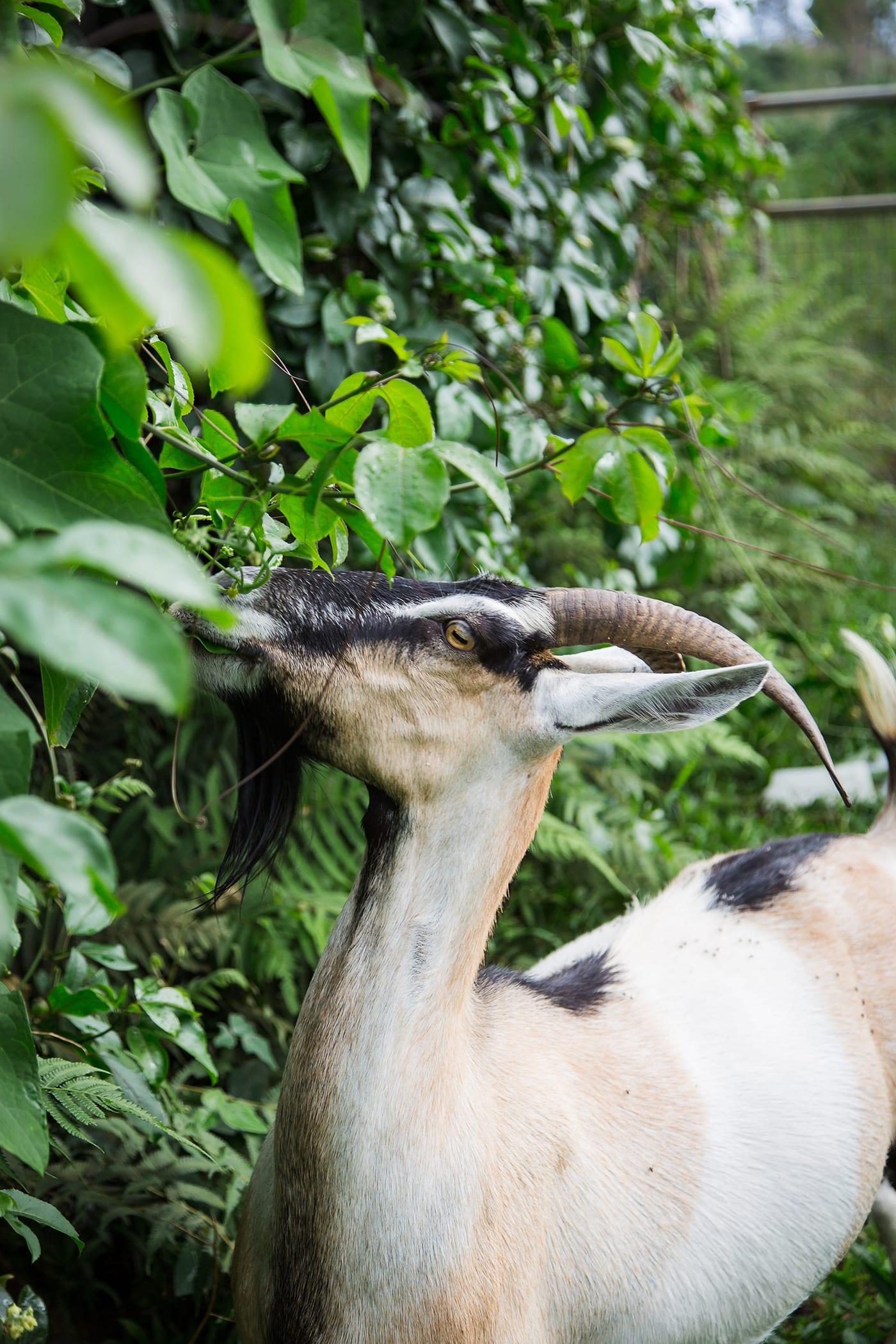 Sunshower-Farms-About-The-Farm-Goats-Visit-Hawaii.jpg