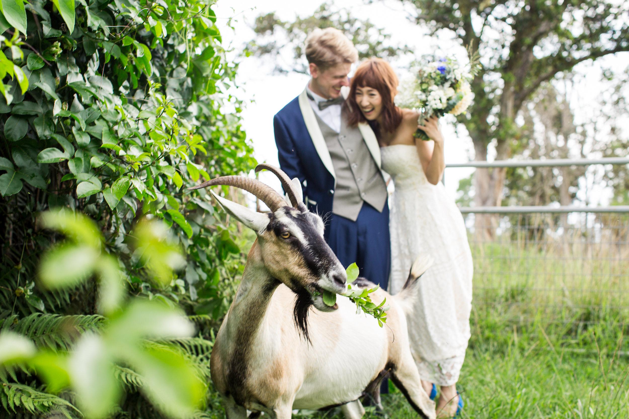 wedding pictures with goats hawaii