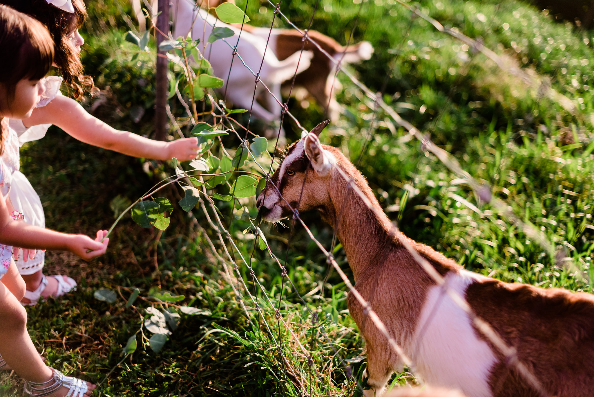 baby goats at your wedding