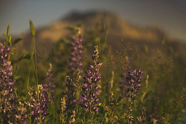 Pacific Lupine infront of Sofa Mountain