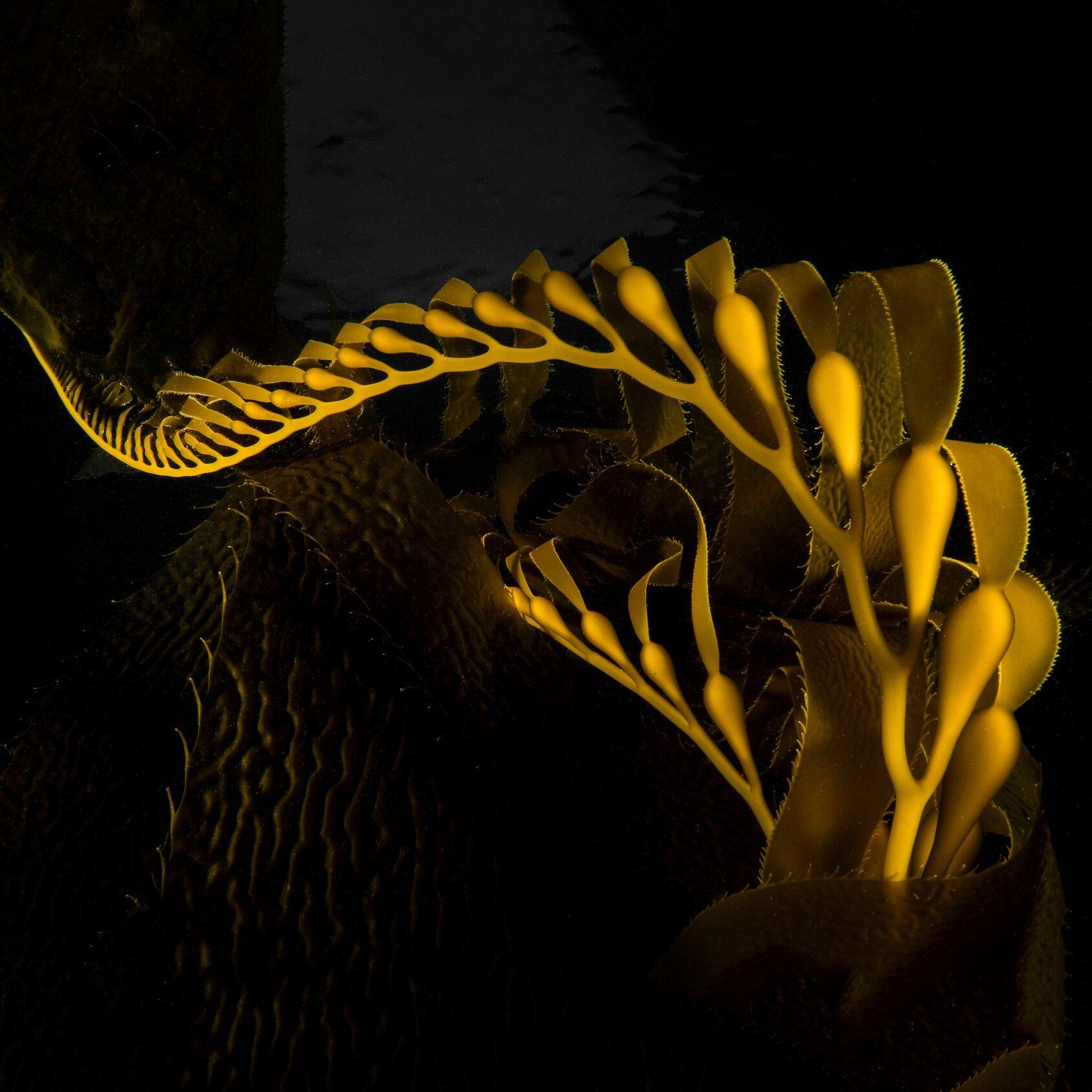 Ama_Sea_Beauty_Seaweed_amaseabeauty_sea_plants_sb_primordial.jpg
