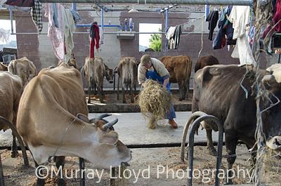 Dairyfarm_0078.jpg