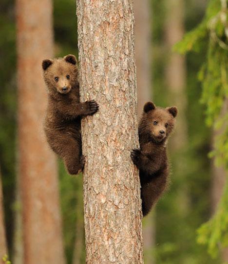 bears-climbing.jpg