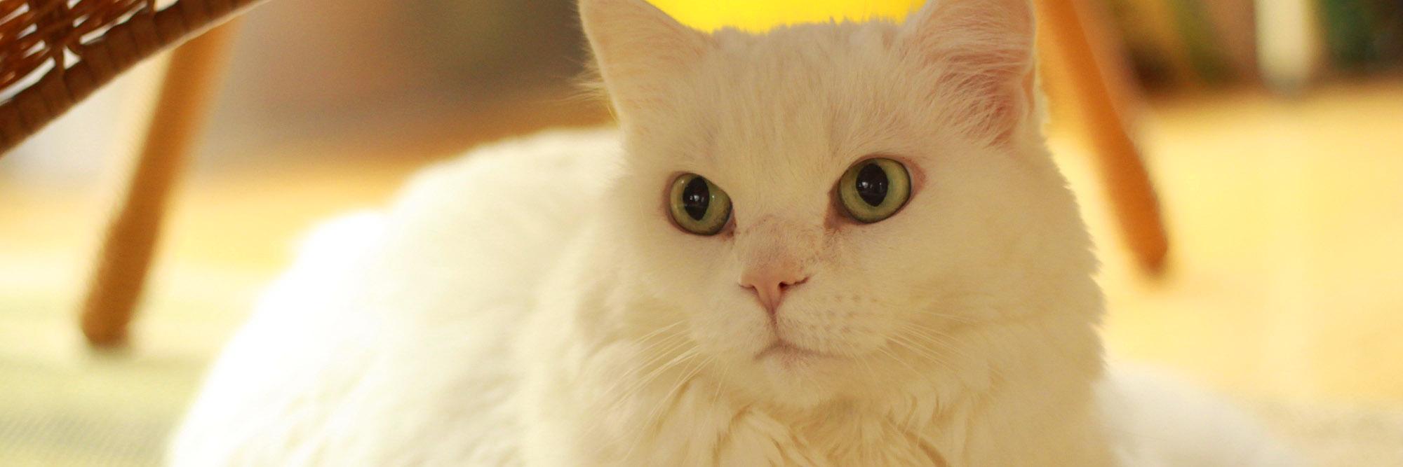 <dc white cat>