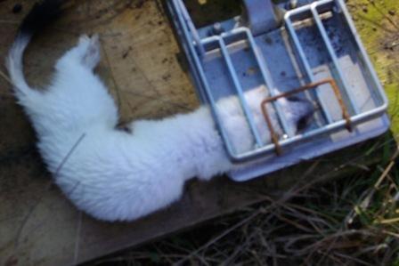 white-stoat-in-doc200.JPG